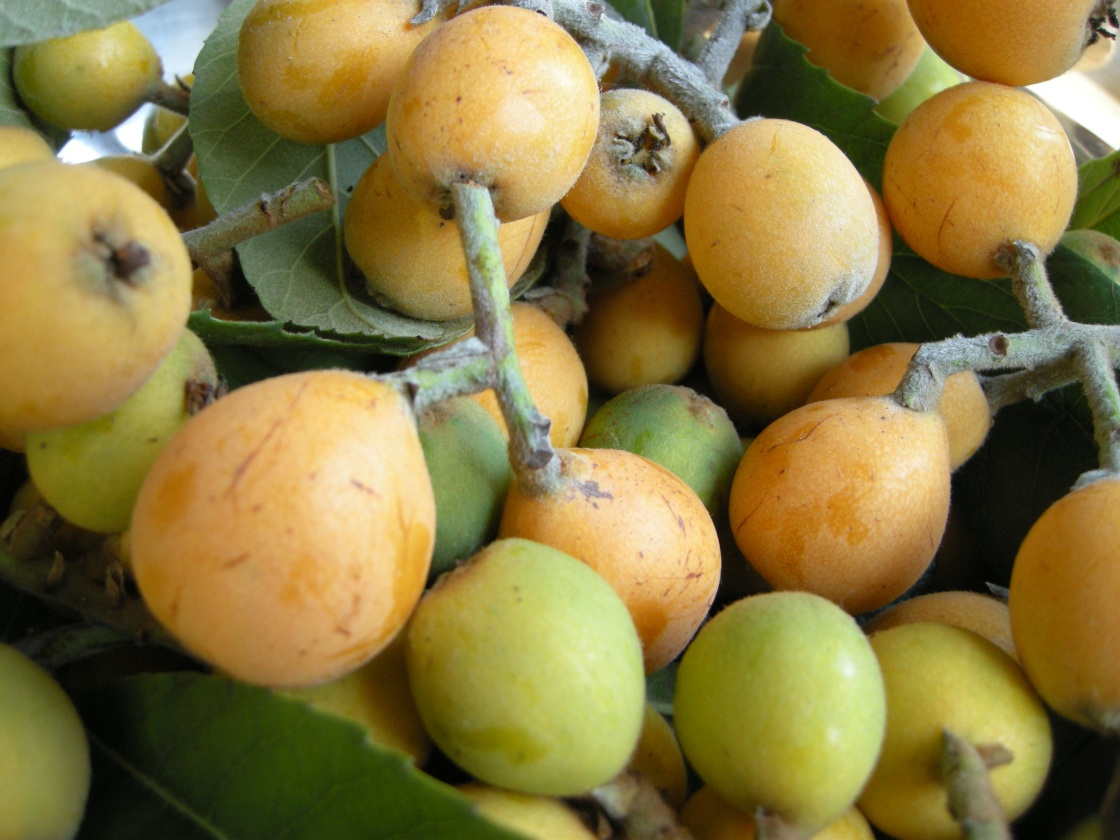 first loquat picking | aneelee.wordpress.com